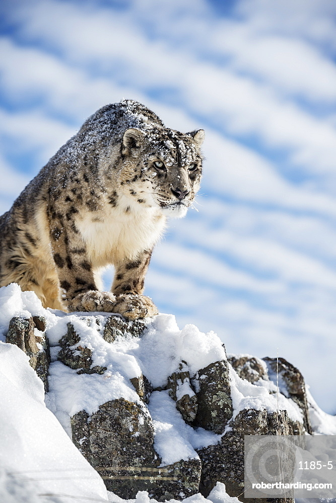 Snow leopard (Panthera india), Montana, United States of America, North America