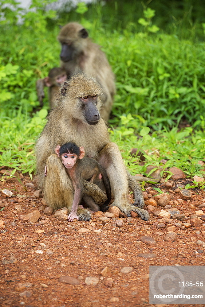 Mother and baby yellow baboon (Papio cynocephalus), South Luangwa National Park, Zambia, Africa