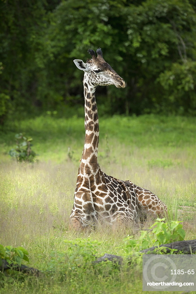 Thornicroft's giraffe (Giraffa camelopardalis thornicrofti), South Luangwa National Park, Zambia, Africa