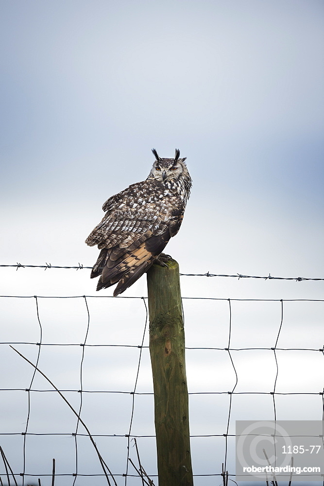 Indian eagle owl (Bubo bengalensis), Herefordshire, England, United Kingdom, Europe