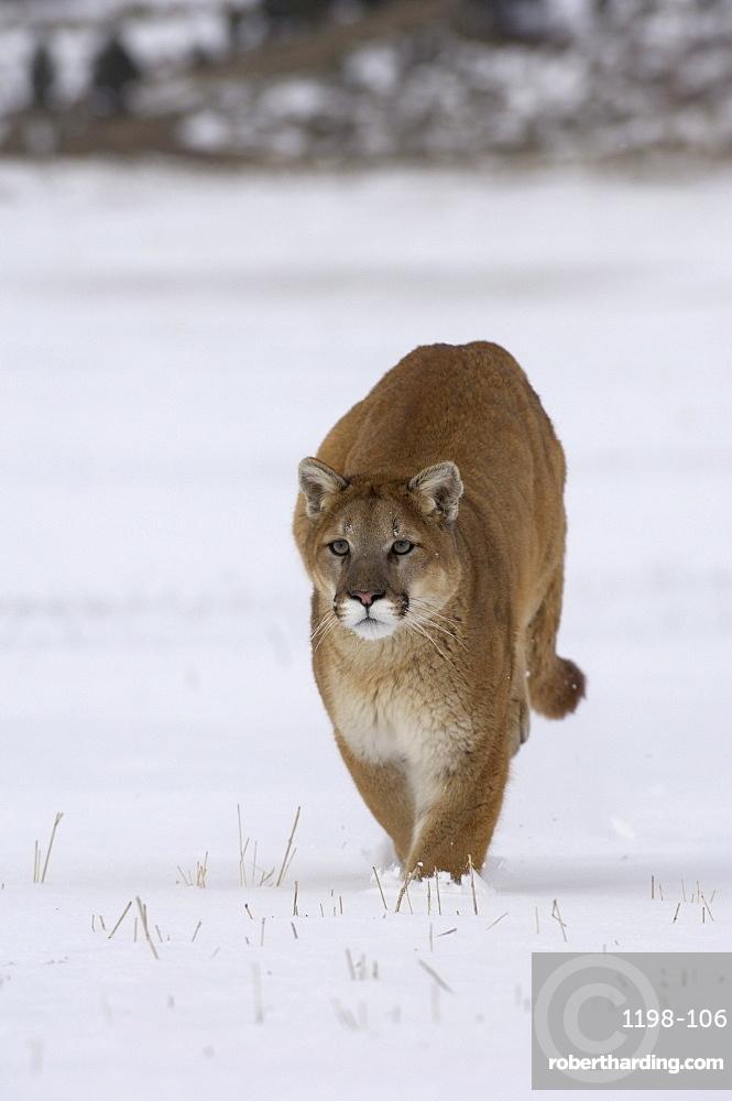 Puma or mountain lion (felis concolor) running in snow, captive.
