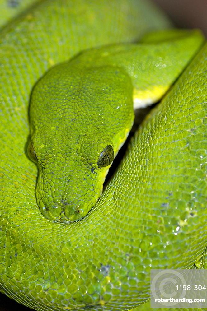 Green tree python (morelia viridis) native of papua new guinea, indonesia and autralia (captive bristol zoo).