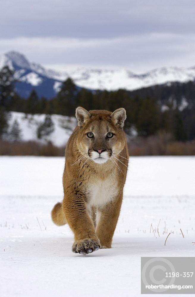 Puma or mountain lion (felis concolor), walking in snow, captive.
