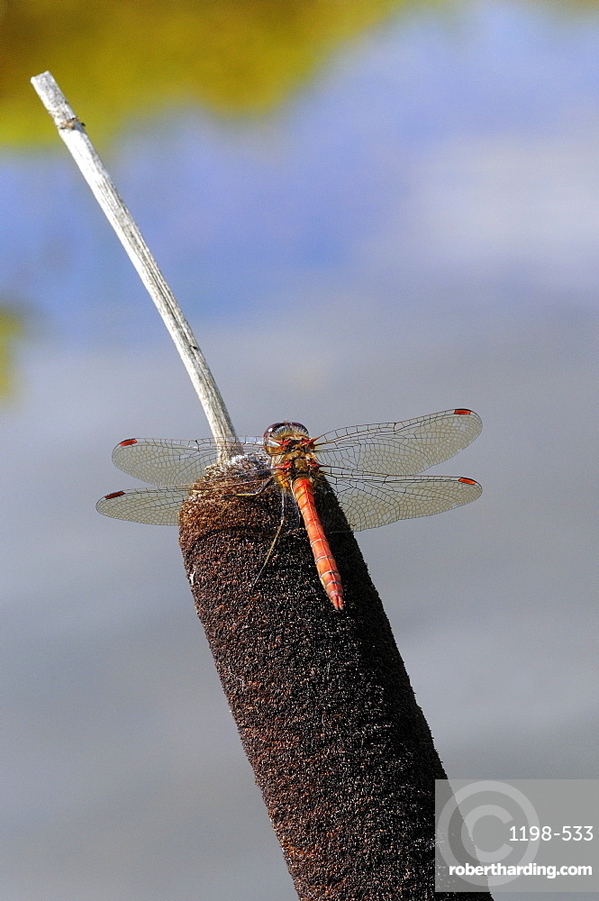 Common Darter Dragonfly (Sympetrum striolatum) resting on bullrush, Oxfordshire, UK