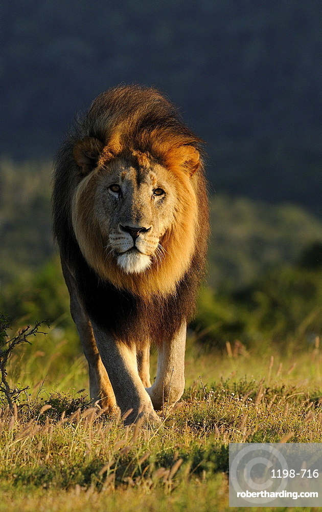Adult male lion (panthera leo), eastern cape, south africa