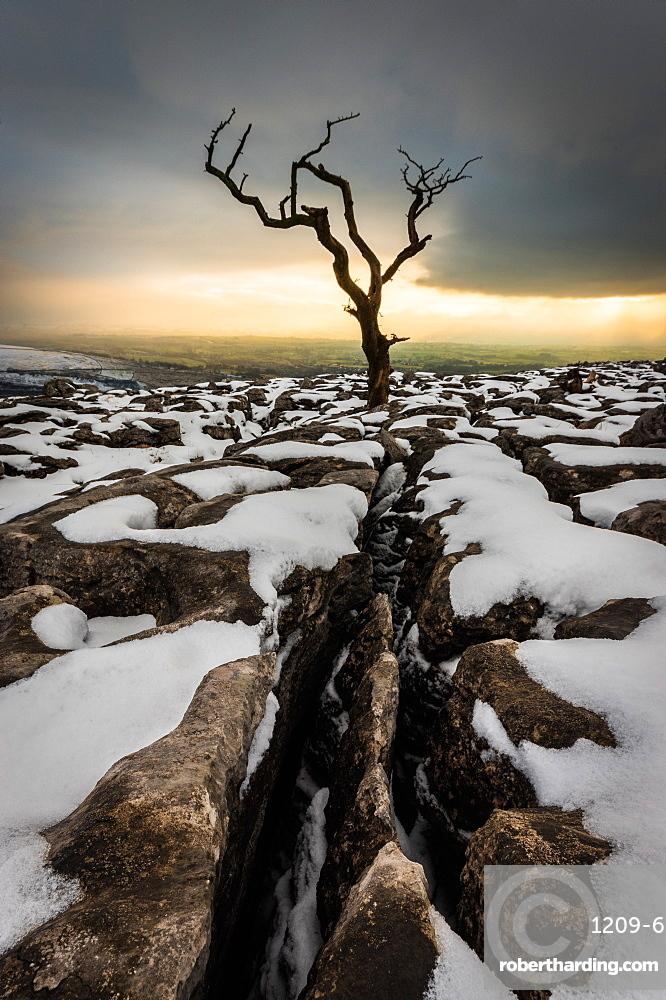 Tree in the snow, Twistleton Scar End, Ingleton, Yorkshire, England, United Kingdom, Europe