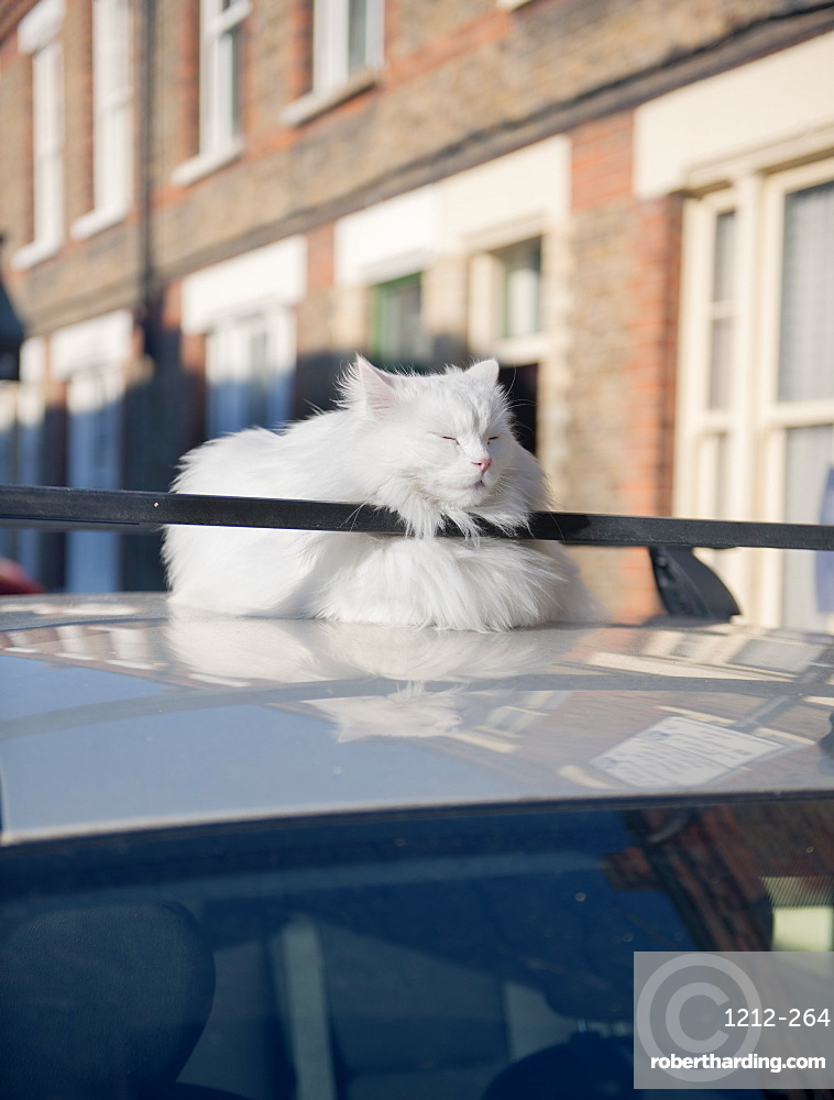 Fat cat dozing in the sun on the roof of a car, United Kingdom, Europe