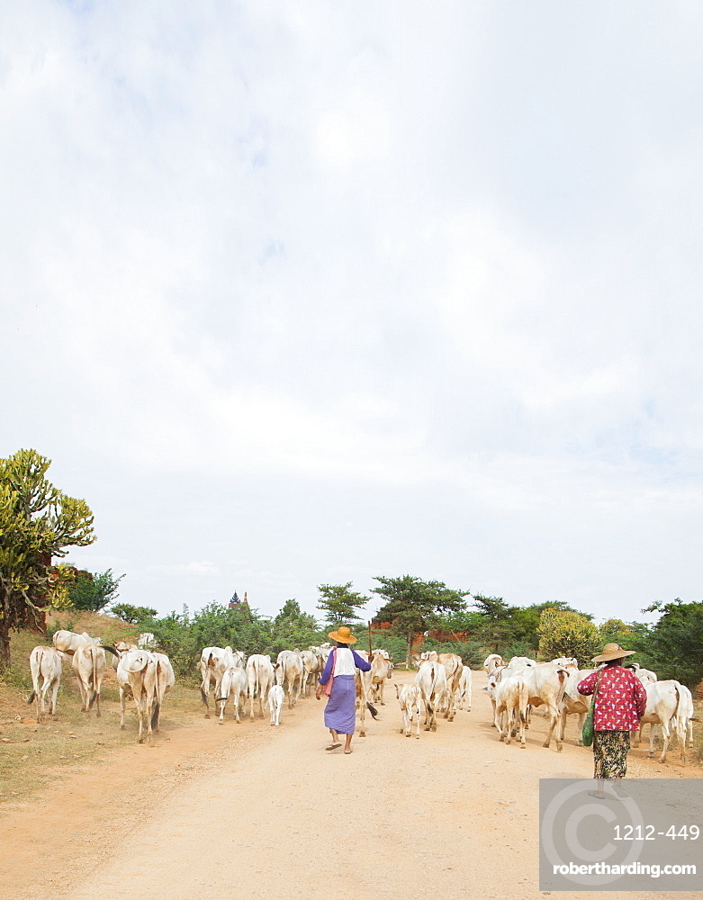 Farmers herding cattle in the ancient city of Bagan where more than 2200 ancient temples remain of the original 10000, Bagan (Pagan), Myanmar (Burma), Asia