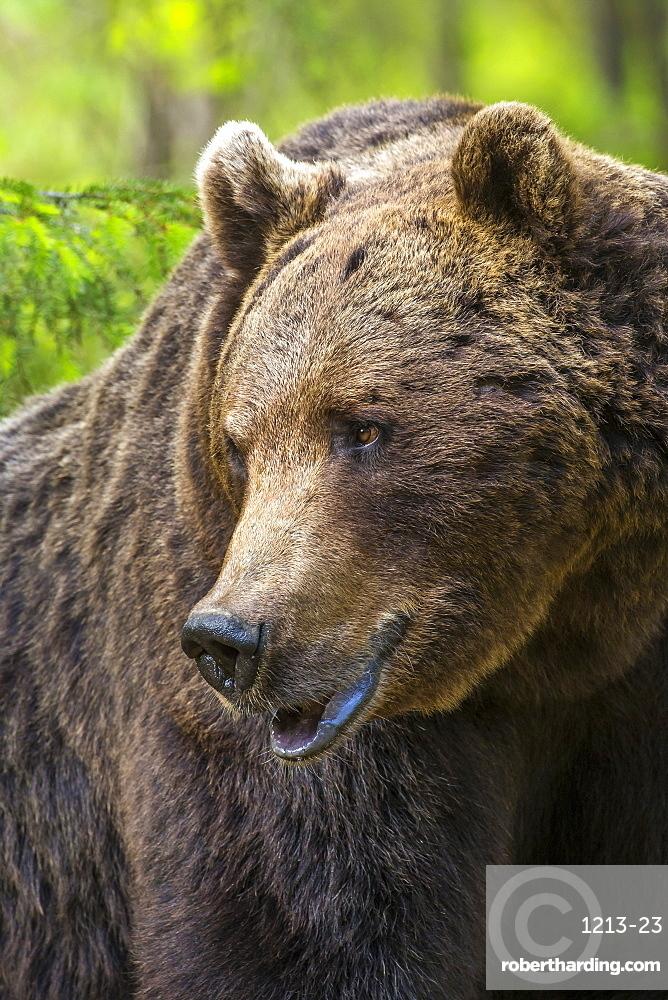 Portrait of a brown bear (Ursus arctos), Finland, Scandinavia, Europe