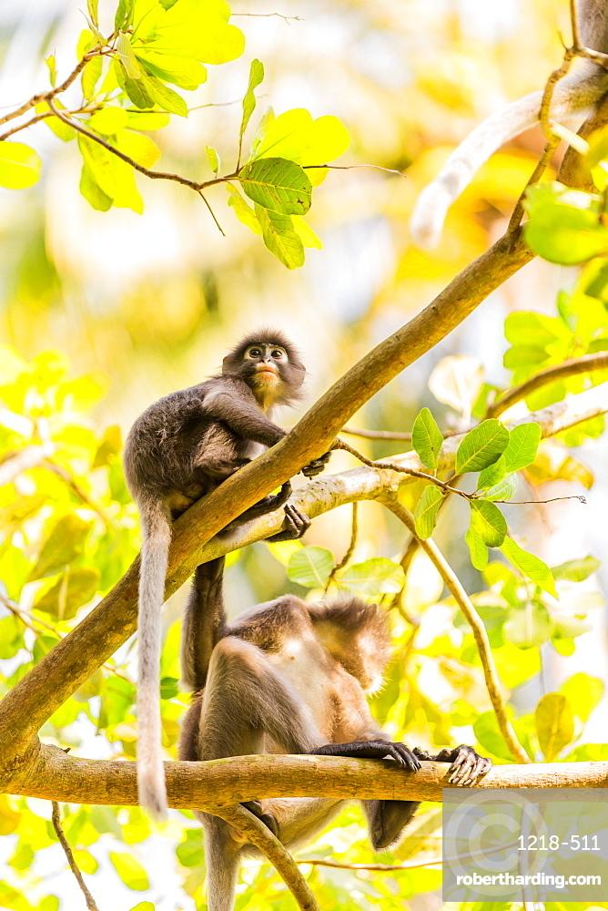 Monkeys in Krabi, Thailand, Southeast Asia, Asia