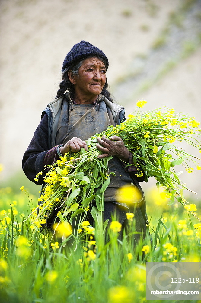 Collecting flowers which will be used to feed the animals in Ladakh in north east India, India, Asia