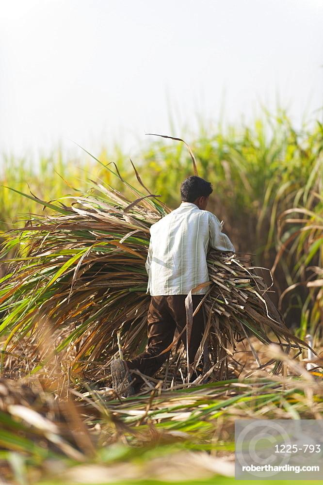A man harvests sugarcane in Uttarakhand, India, Asia