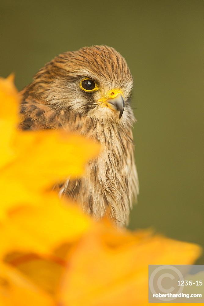 Common kestrel (Falco tinnunculus), among autumn foliage, United Kingdom, Europe
