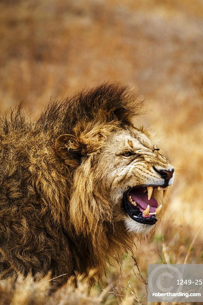 African lion (Leo panthera), Ngorongoro National Park, Tanzania, East Africa, Africa