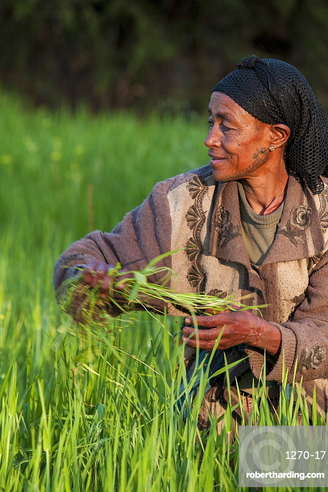 A woman working in the fields on her farm, Ethiopia, Africa