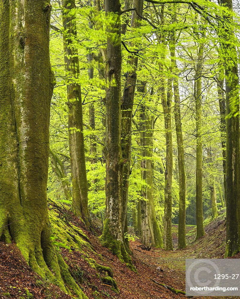 First leaves on these fine Beech trees at Woodbury Castle, near Exmouth, Devon, England, United Kingdom, Europe