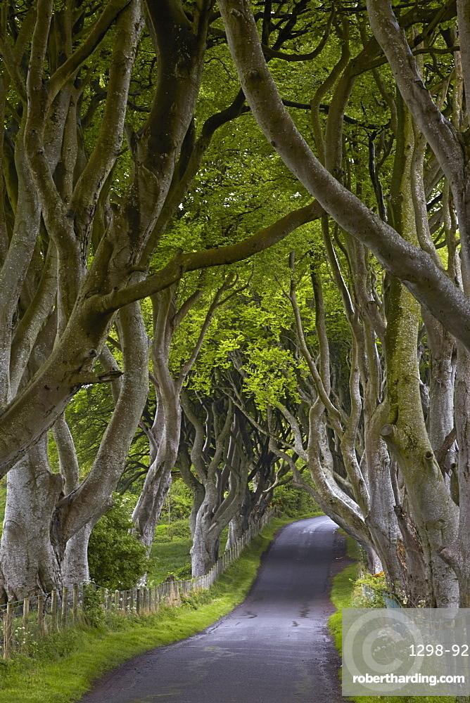 The Dark Hedges, Armoy, County Antrim, Northern Ireland, United Kingdom, Europe