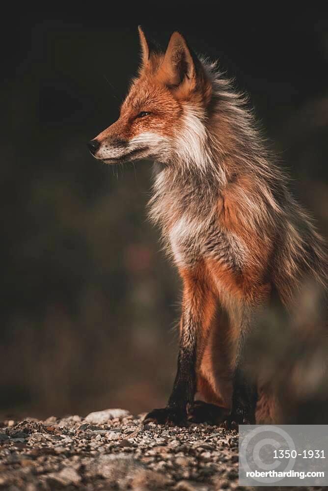 A red fox enjoys the warming rays of the evening sun, Yukon Territory, Canada