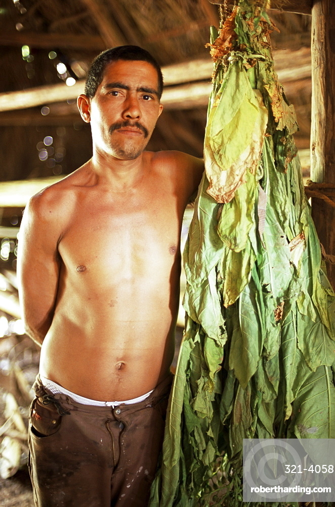 Tobacco farmer with tobacco leaves drying in drying shed, Vinales, Cuba, West Indies, Central America