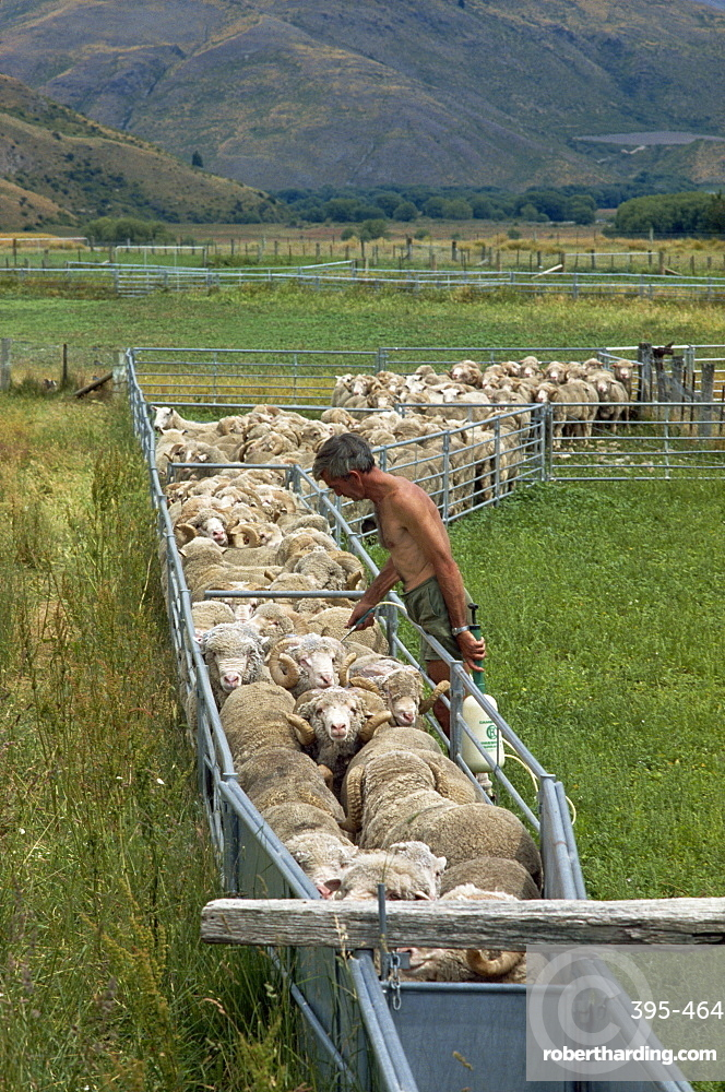 Sheep drenching, central Otago, South Island, New Zealand, Pacific