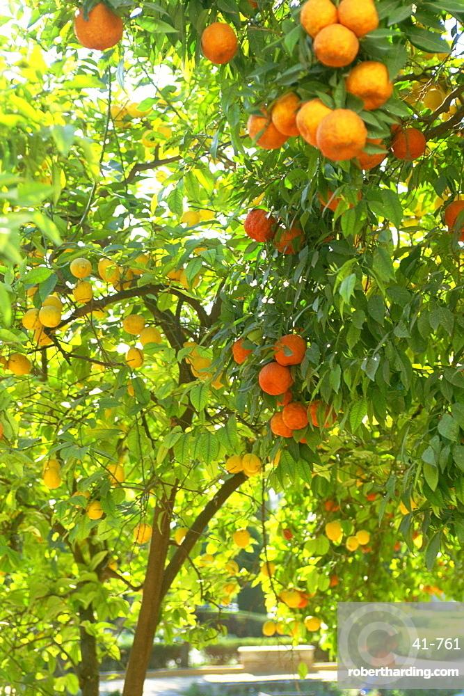 Orange and lemon trees in the Alcazar gardens, Cordoba, Andalucia, Spain, Europe