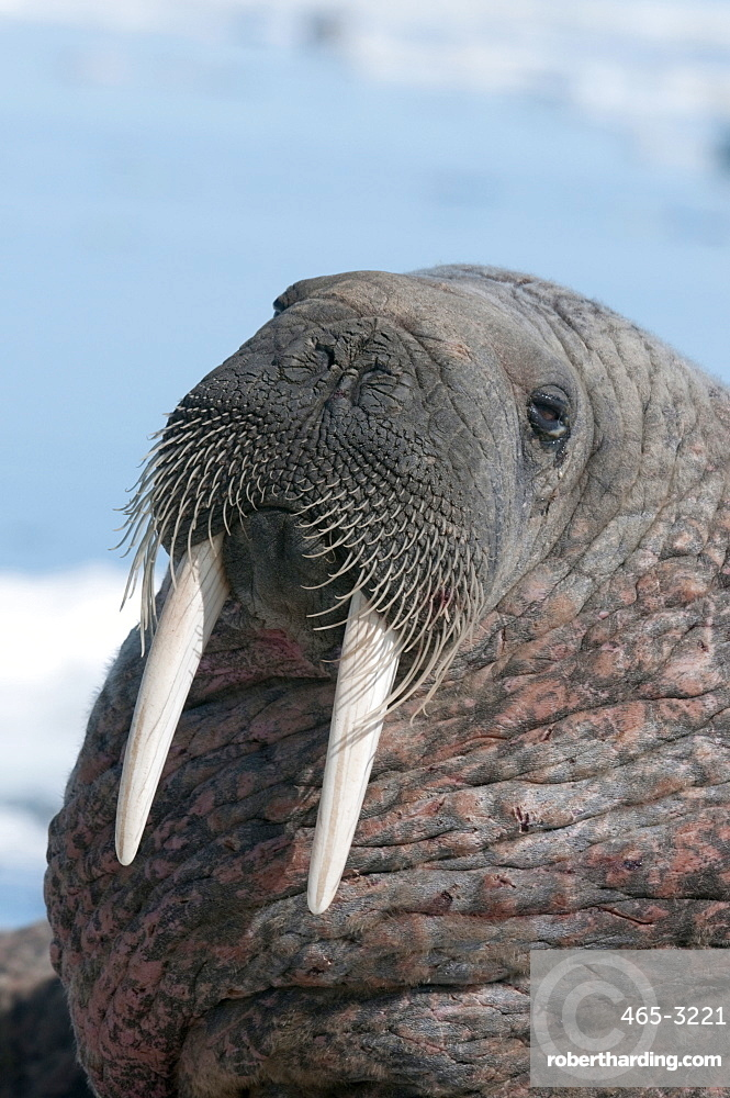 Walrus (Odobenus rosmarinus) close-up of face, tusks and vibrissae (whiskers), hauled out on pack ice to rest and sunbathe, Nunavut, Canada, North America
