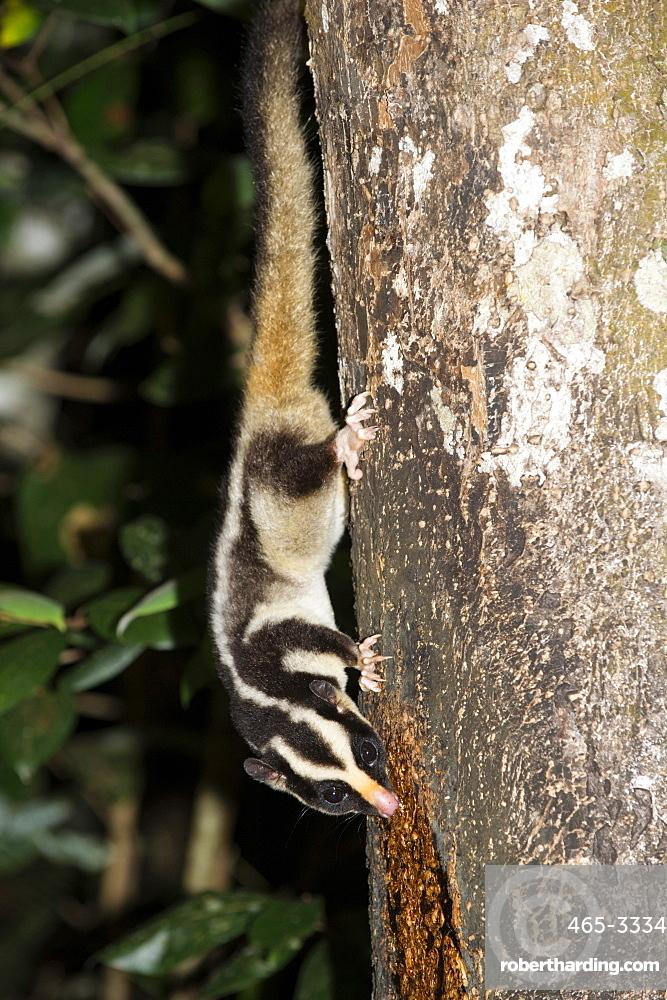 Rarely seen Striped possum (Dactylopsila trivirgata) on tree in the Wet Tropic rainforest of Queensland, Australia, Pacific