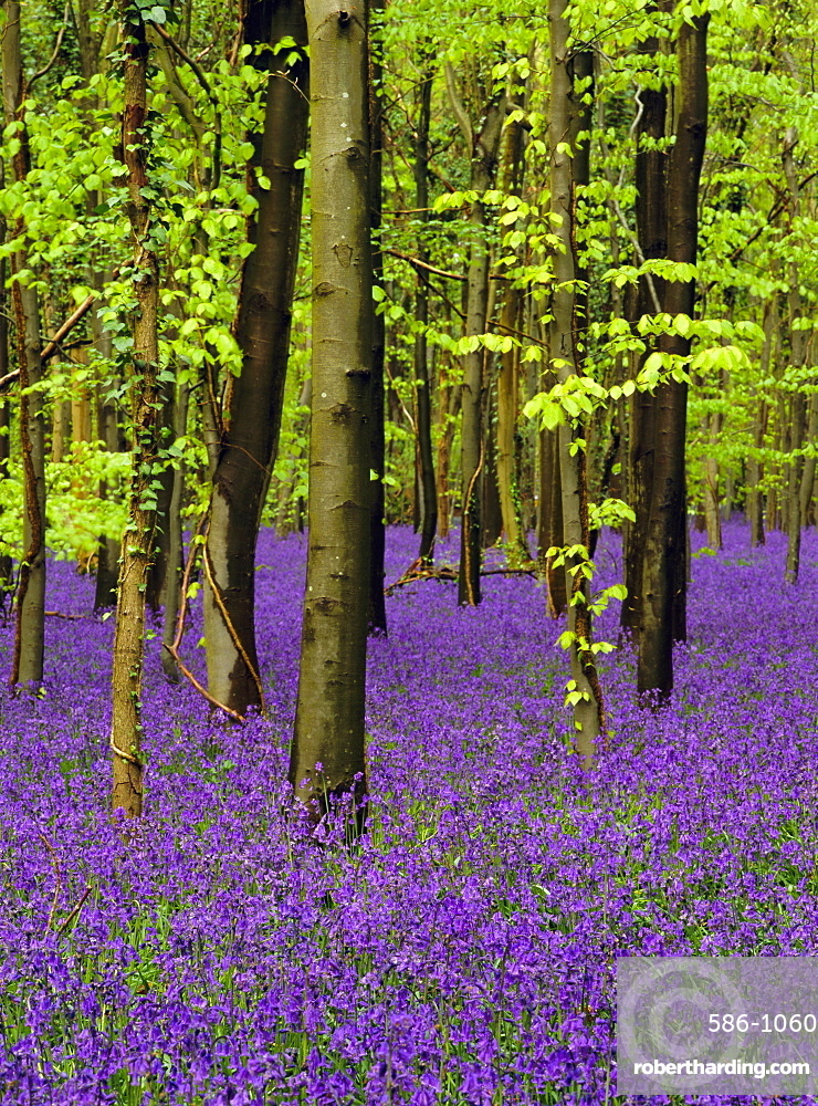 Bluebells (hyacinthoides non-scriptus) in a beech wood (fagus sylvatica), West Stoke, West Sussex, England, UK, Europe