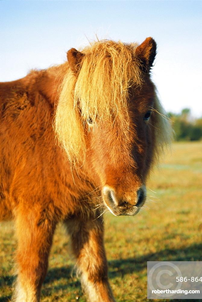 Chestnut Shetland Pony, Fritham, New Forest, England, UK