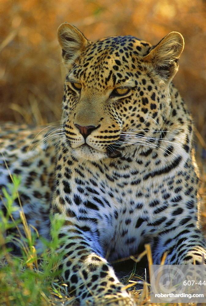 Portrait of a Leopard (Panthera pardus), Okavango Delta, Botswana