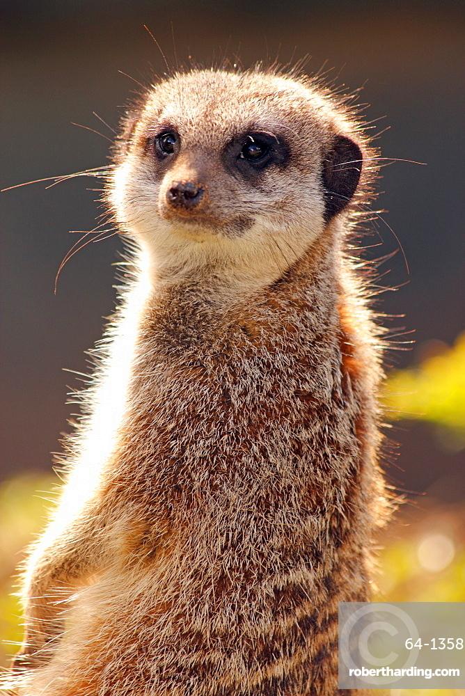 Meerkat (suricate) (Suricata suricatta), a small mammal belonging to the mongoose family, from the Kalahari Desert, Africa, in captivity in the United Kingdom, Europe