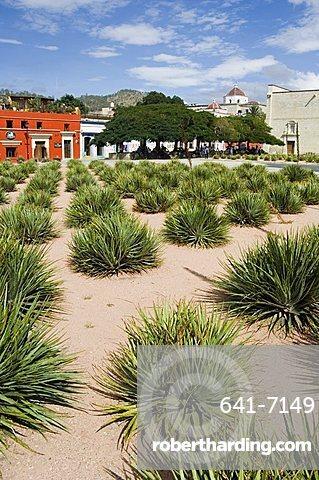 Agave plants used for making Mezcal, Oaxaca City, Oaxaca, Mexico, North America