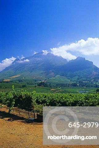 Vineyards in the Cape winelands, near Stellenbosch, Cape Province, South Africa, Africa