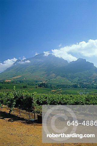 South Africa, Cape Winelands. Vineyards near Stellenbosch