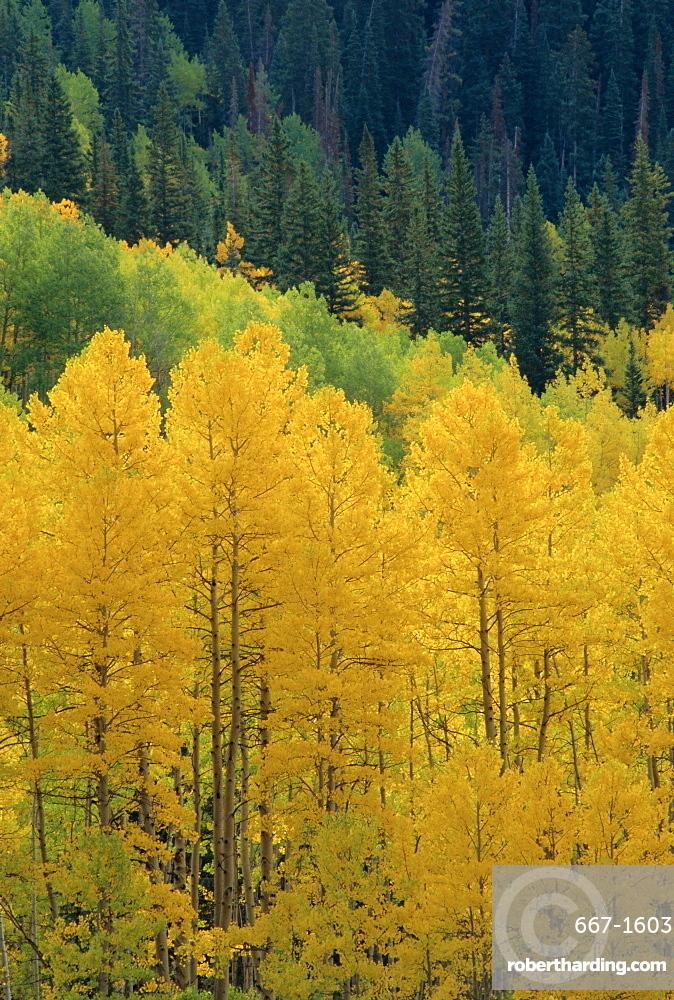 Yellow aspens, Colorado, USA, North America