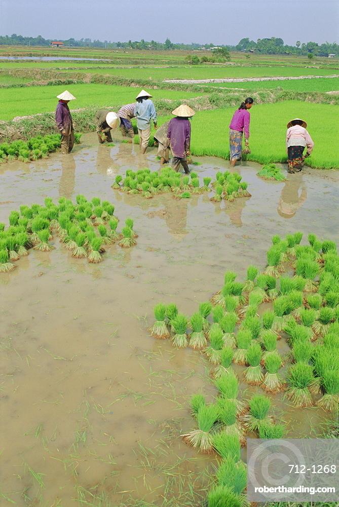 Rice paddies, Vientiane, Laos, Asia