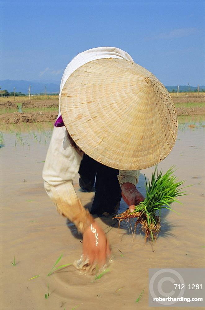 Planting rice in paddy, Muang Sing, Laos, Asia