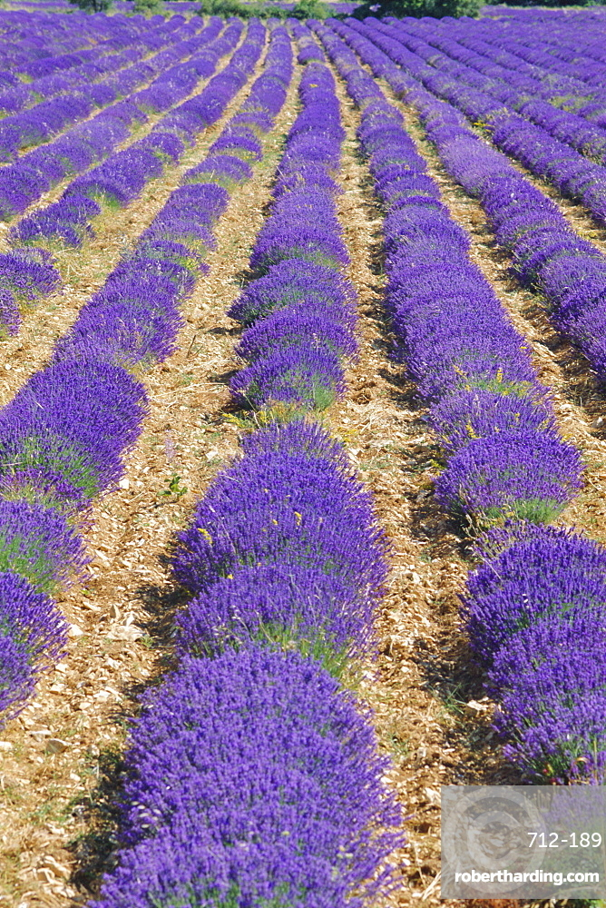 Field of lavender in flower, Sault, Vaucluse, Provence, France, Europe