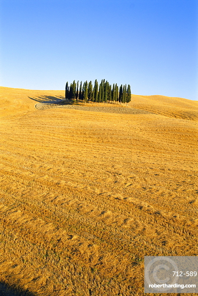 Copse of Cypress trees in a harvested field in Summer, near Siena, Tuscany, Italy