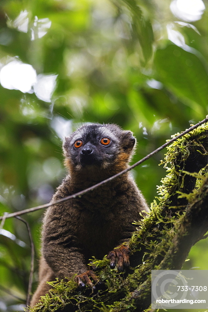 Red-fronted brown lemur (Eulemur rufifrons), Ranomafana National Park, central area, Madagascar, Africa
