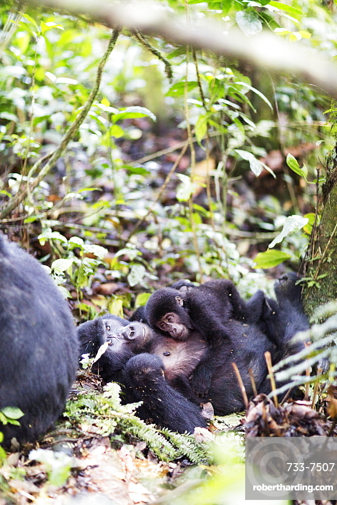 Gorillas, Rushegura Group, baby gorilla (Gorilla gorilla beringei), Bwindi Impenetrable Forest National Park, UNESCO World Heritage Site, Buhoma, Uganda, Africa