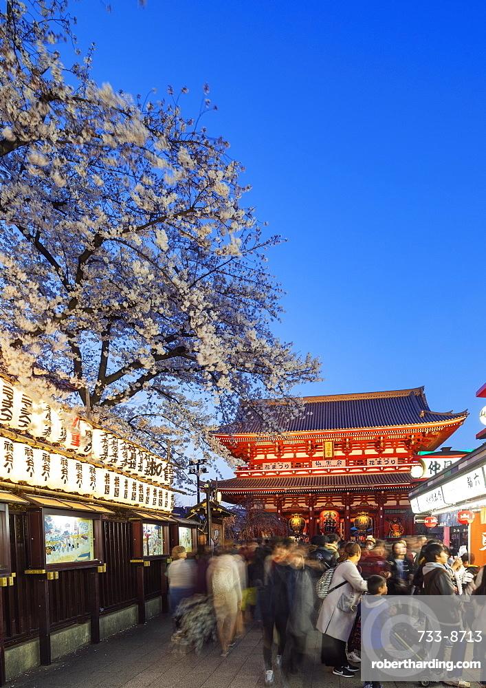 Spring cherry blossoms, Sensoji temple, Asakusa, Tokyo, Japan, Asia