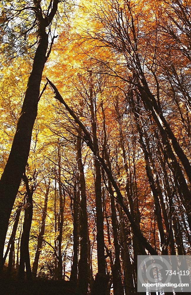 Trees in autumn, Bariloche, Argentina, South America