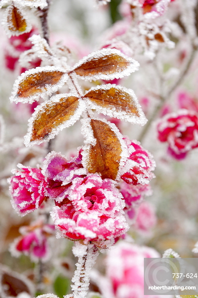 Frost-covered flowers and leaves, town of Cakovice, Prague, Czech Republic, Europe