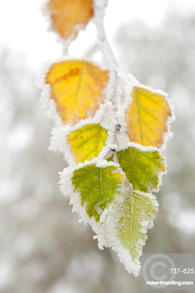 Frost-covered birch leaves, town of Cakovice, Prague, Czech Republic, Europe