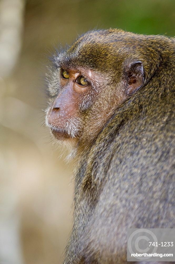 Monkey at Yong Kasem beach, known as Monkey Beach, Phi Phi Don Island, Thailand, Southeast Asia