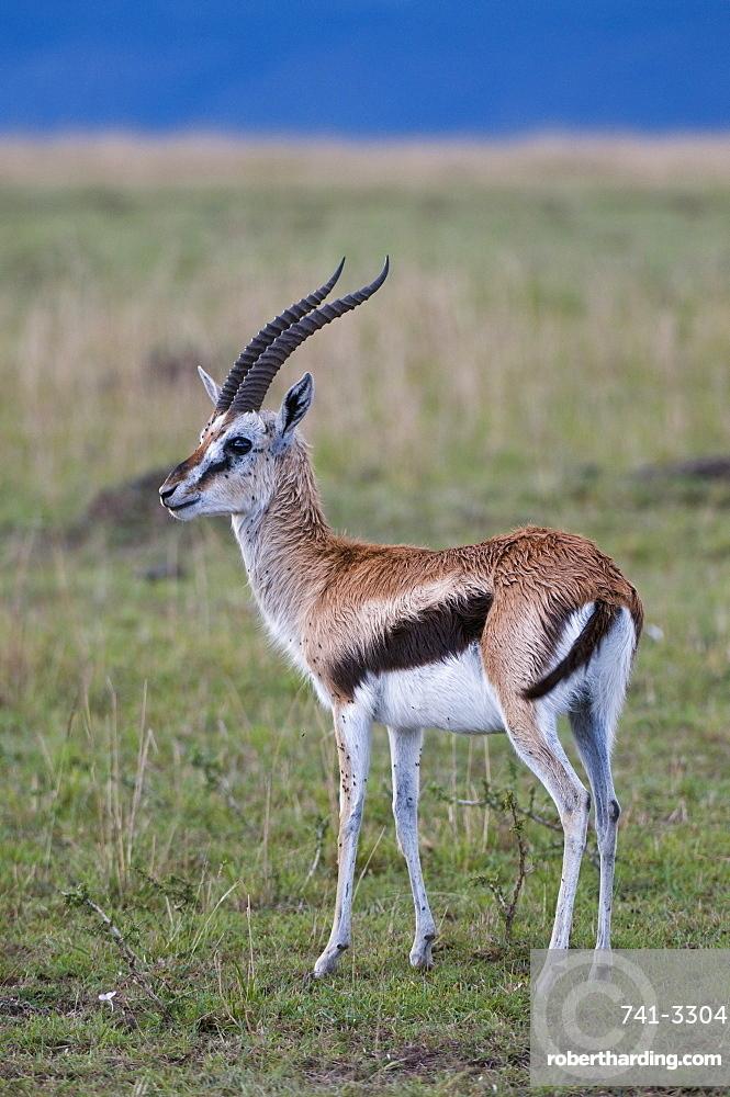 Thomson gazelle (Gazella thomsoni), Masai Mara National Reserve, Kenya, East Africa, Africa