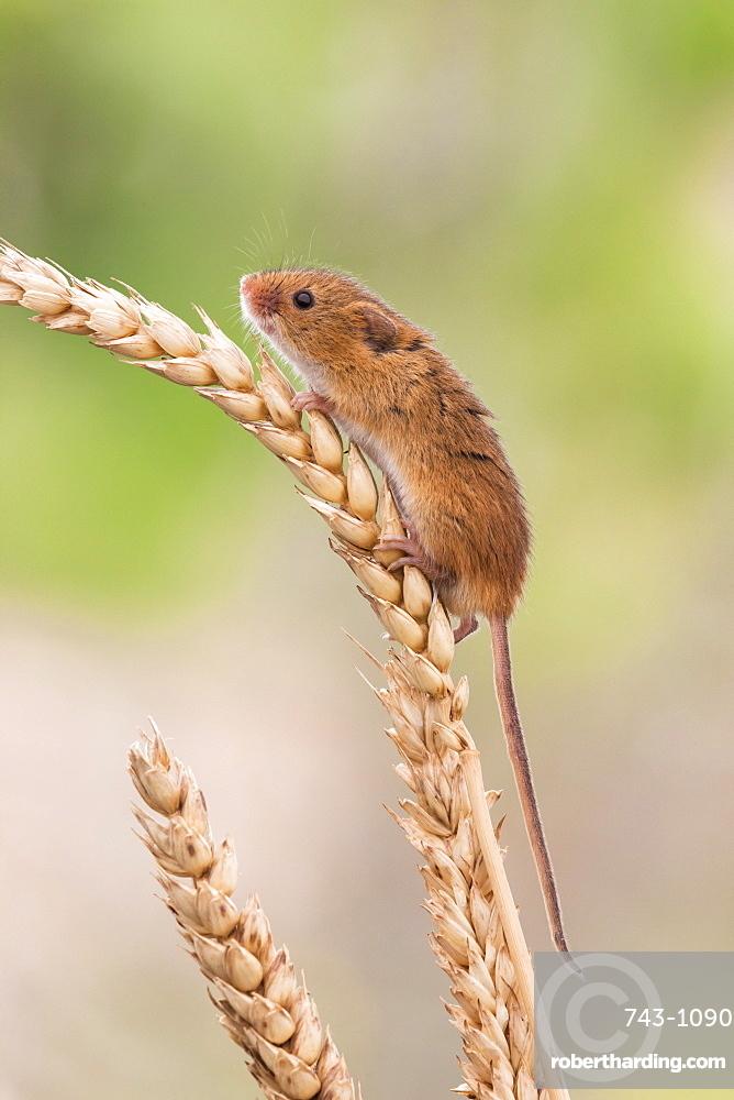 Harvest mouse (Micromys minutus), captive, United Kingdom, Europe