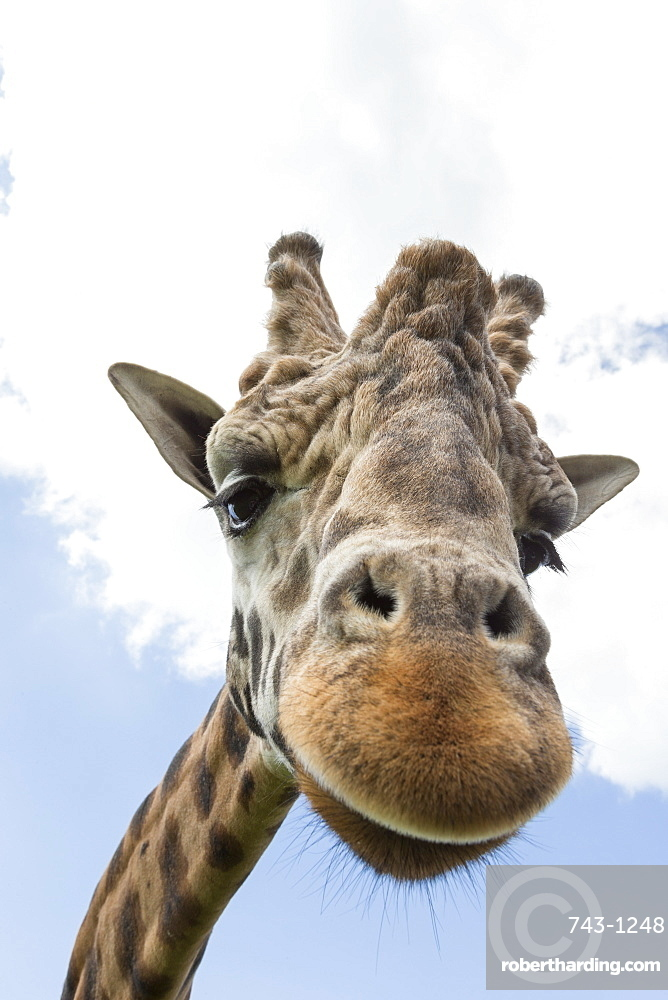 Rothschild's giraffe (Giraffa camelopardalis rothschildi), breeding dominant male, Woburn Safari Park, England, United Kingdom, Europe