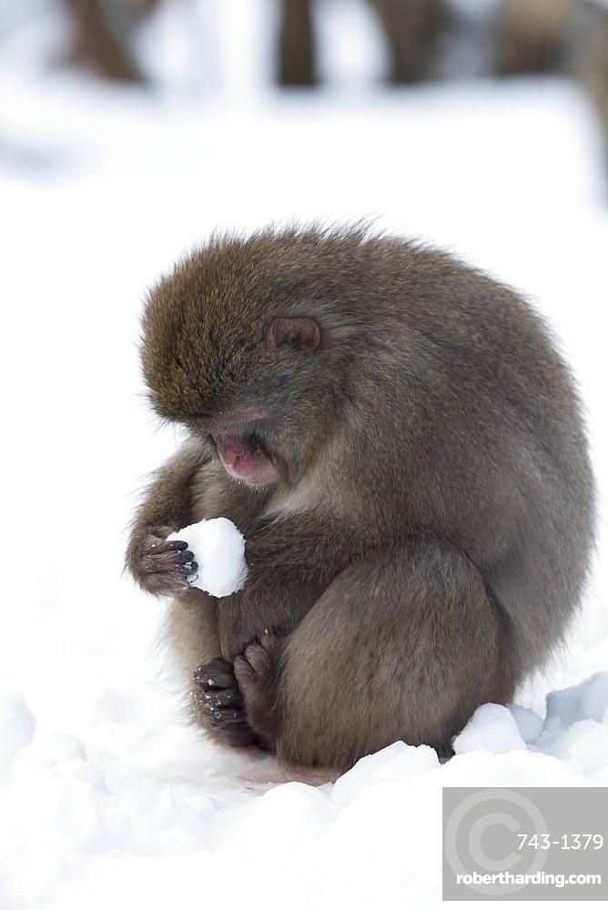Snow monkey (Macaca fuscata), Japanese macaque, captive, Highland Wildlife Park, Kingussie, Scotland, United Kingdom, Europe
